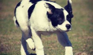 MILLISON PARK BORDER COLLIES
